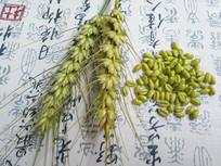 麦穗青麦粒