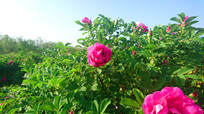 玫瑰谷玫瑰花海