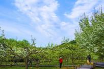 千山梨园梨树与蓝天白云