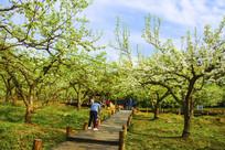 千山梨园木板路与梨树蓝天