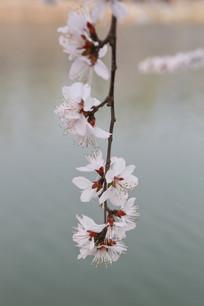 盛开在水边的樱花花枝