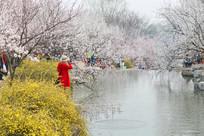 水岸边的樱花赏花林