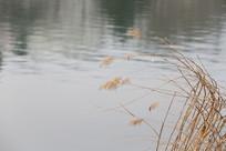 水边的野草