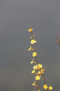 水边的迎春花花枝