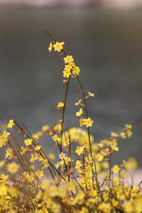 水边的迎春花枝条