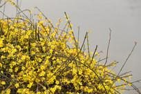 水边绽放的迎春花花丛