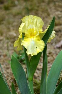 亭亭玉立的黄色鸢尾花