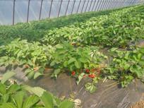 温室中的草莓