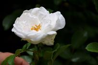 一朵纯洁的白刺玫