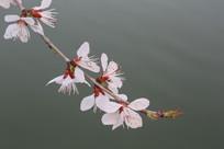绽放在水边的樱花花枝