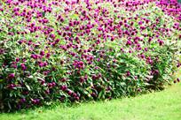 大片紫色小花