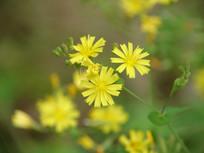 黄色抱茎小苦荬花朵