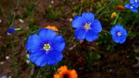 蓝色的长春花