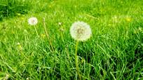 绿草中的蒲公英