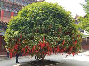 寺庙许愿树