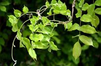 造型奇特的槐树枝