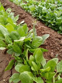 菠菜叶子图片