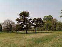 草地上的松树图片