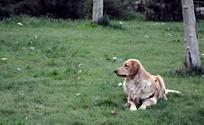 侧头望向远方的狗