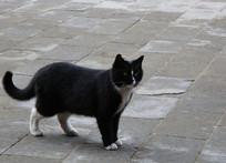 黑白色的肥猫