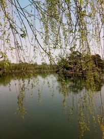 湖面上的柳条图片