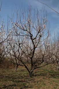 蓝天下的樱花树林