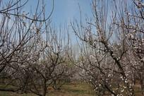蓝天下盛开的樱花树林