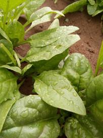 绿色菠菜叶子图片