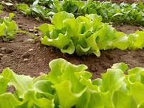 绿色生菜图片