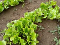 绿生菜图片