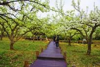 千山梨园笔直的木板路与梨树