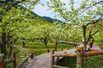 千山梨园弯弯的木板路与梨树