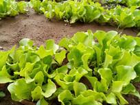 生菜叶子图片