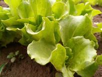 小生菜叶子图片