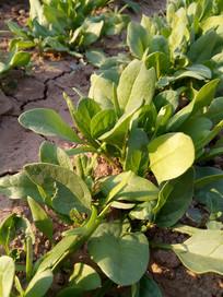 阳光下的菠菜图片