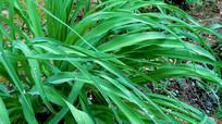 翠绿细长的萱草叶子