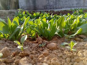 地里的菠菜图片