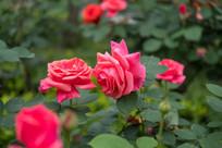 粉红玫瑰花开