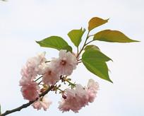 粉色的樱花