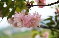 粉色的樱花摄影图