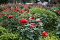 红玫瑰素材