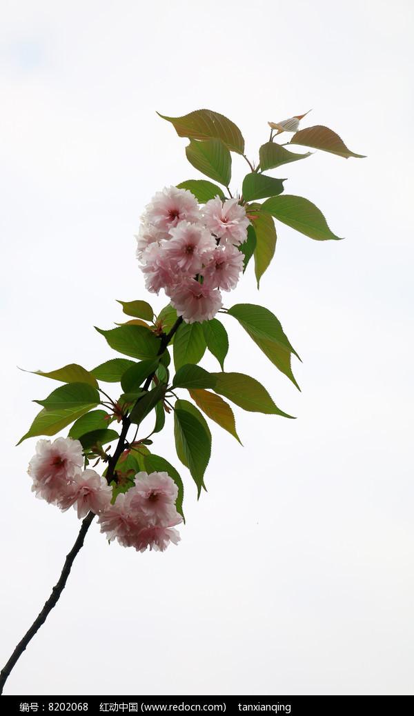 开满樱花的枝条图片