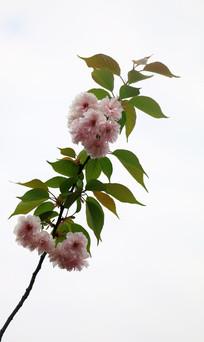 开满樱花的枝条