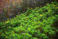 绿草黄花图