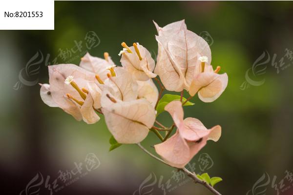 柠黄叶子花
