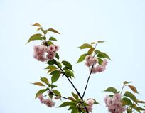 盛开的樱花树枝