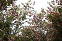 盛开樱花的树
