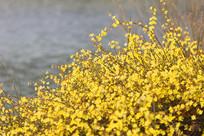 水边怒放的迎春花花丛