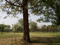 树林中的一棵大树图片
