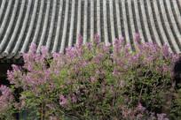 屋檐下盛开的丁香花